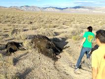 エリア51の周辺で見られる「謎の牛の死体」