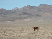 エリア51の周辺で見られる謎の牛