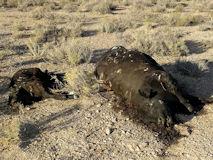道路から40m離れたところに2頭の牛の死体